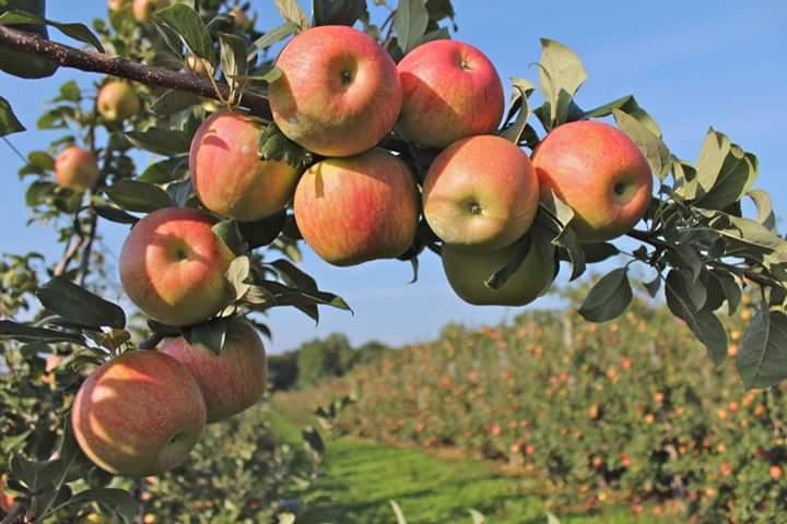 Kebun Buah Apel Bumiaji