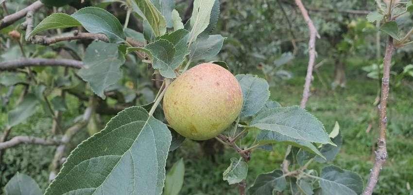 Kebun Buah Apel Pujon