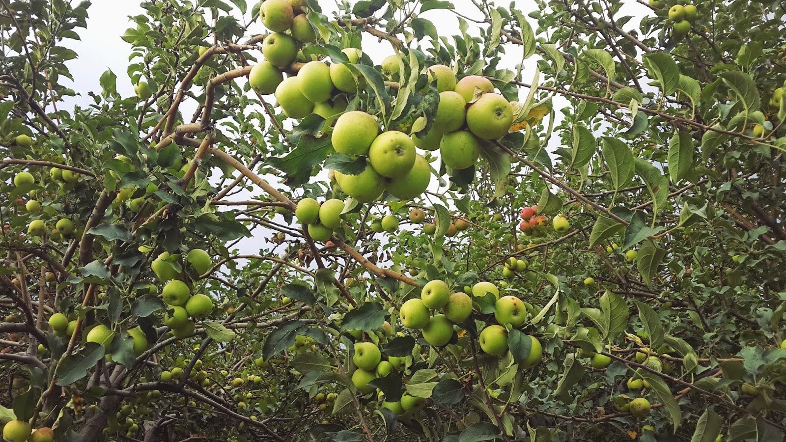 Petik Apel Green Garden