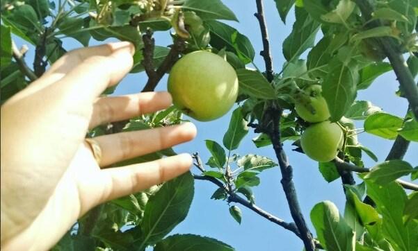 Tiket Masuk Wisata Petik Apel (Harga)