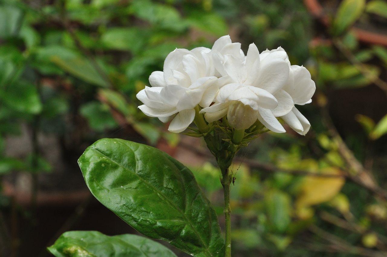 bunga melati bunga bangsa